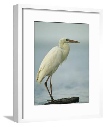 Great Blue Heron during its White Phase in the Everglades-Klaus Nigge-Framed Art Print