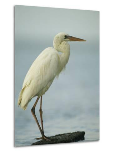Great Blue Heron during its White Phase in the Everglades-Klaus Nigge-Metal Print