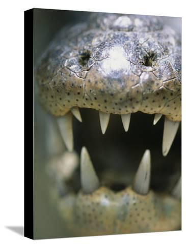 Close View of the Open Mouth of a Morelets Crocodile-Stephen Alvarez-Stretched Canvas Print