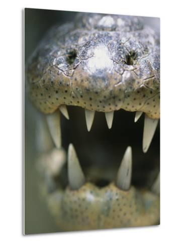 Close View of the Open Mouth of a Morelets Crocodile-Stephen Alvarez-Metal Print