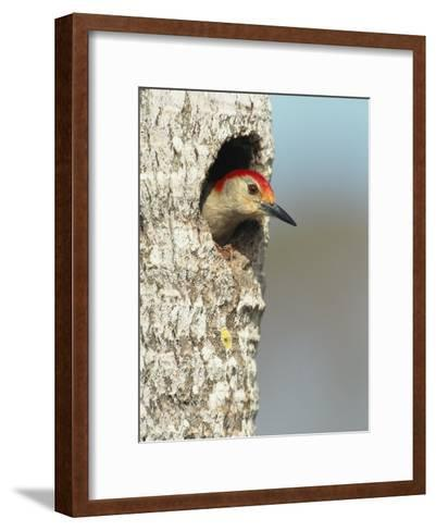 Red-Bellied Woodpecker Looks Out from its Nest-Klaus Nigge-Framed Art Print