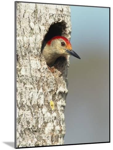 Red-Bellied Woodpecker Looks Out from its Nest-Klaus Nigge-Mounted Photographic Print