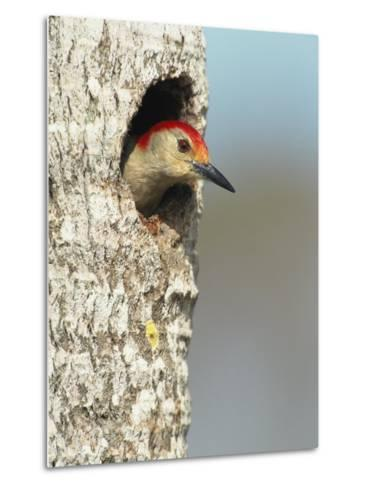 Red-Bellied Woodpecker Looks Out from its Nest-Klaus Nigge-Metal Print