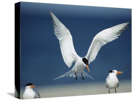 Royal Tern Descending in Flight-Klaus Nigge-Stretched Canvas Print