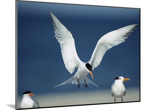 Royal Tern Descending in Flight-Klaus Nigge-Mounted Photographic Print