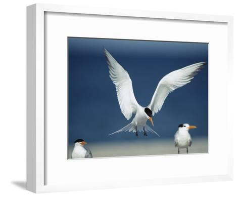 Royal Tern Descending in Flight-Klaus Nigge-Framed Art Print