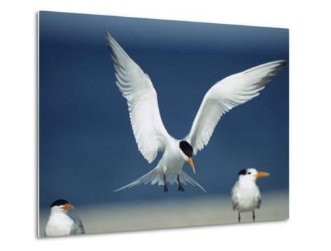 Royal Tern Descending in Flight-Klaus Nigge-Metal Print