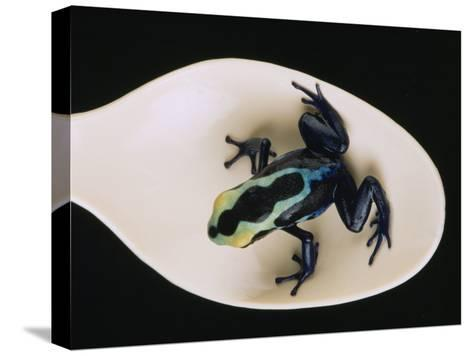 Poison Dart Frog Sits on a Plastic Spoon-O^ Louis Mazzatenta-Stretched Canvas Print