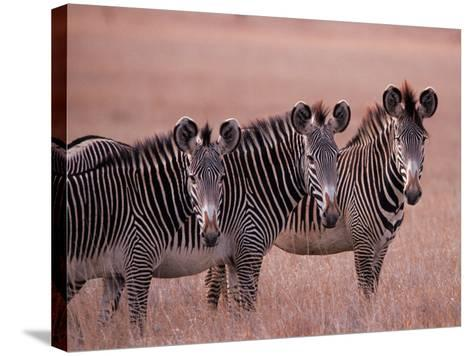 Grevy's Zebra, Masai Mara, Kenya-Dee Ann Pederson-Stretched Canvas Print