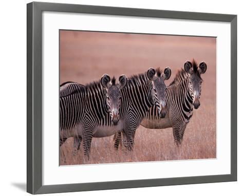 Grevy's Zebra, Masai Mara, Kenya-Dee Ann Pederson-Framed Art Print