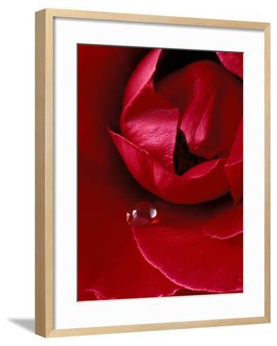 Red Rose, American Beauty, with Tear Drop, Rochester, Michigan, USA-Claudia Adams-Framed Art Print