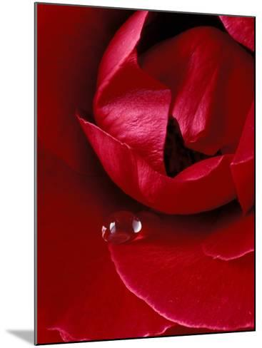 Red Rose, American Beauty, with Tear Drop, Rochester, Michigan, USA-Claudia Adams-Mounted Photographic Print