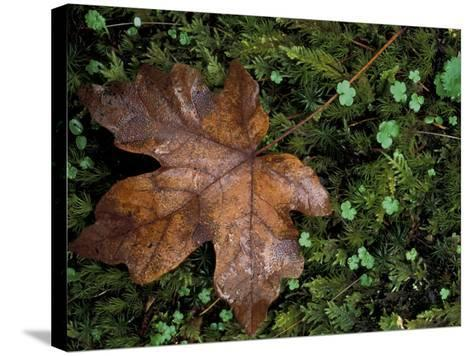 Fallen Oak Leaf-Michele Westmorland-Stretched Canvas Print
