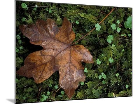 Fallen Oak Leaf-Michele Westmorland-Mounted Photographic Print