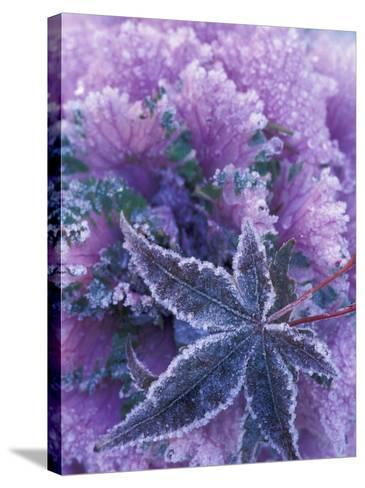 Frost-covered Shrubs and Maple Leaf, Washington, USA-Michele Westmorland-Stretched Canvas Print