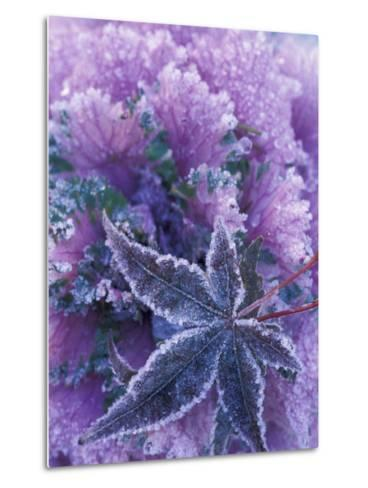 Frost-covered Shrubs and Maple Leaf, Washington, USA-Michele Westmorland-Metal Print