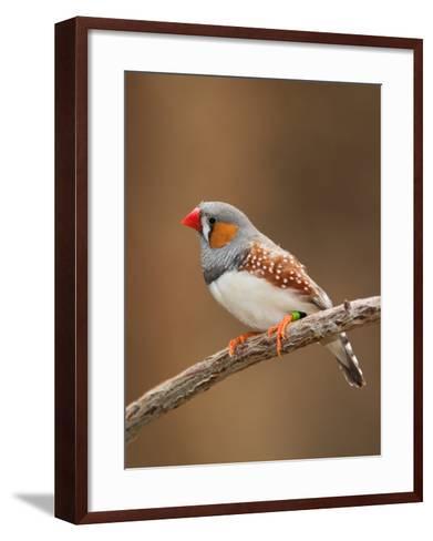 Zebra Finch-Adam Jones-Framed Art Print