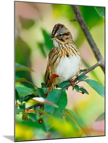 Lincoln's Sparrow, Melospiza lincolnii-Adam Jones-Mounted Photographic Print