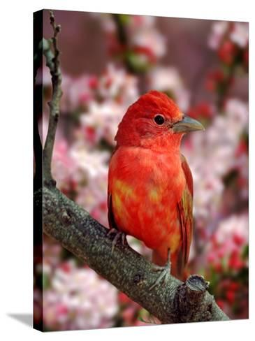 Male Summer Tanager-Adam Jones-Stretched Canvas Print