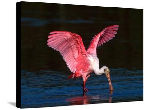 Roseate Spoonbill, Ding Darling National Wildlife Refuge, Sanibel Island, Florida, USA-Charles Sleicher-Stretched Canvas Print