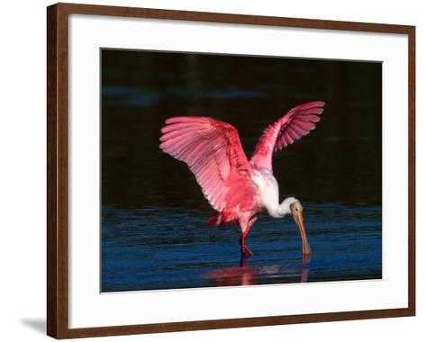 Roseate Spoonbill, Ding Darling National Wildlife Refuge, Sanibel Island, Florida, USA-Charles Sleicher-Framed Art Print