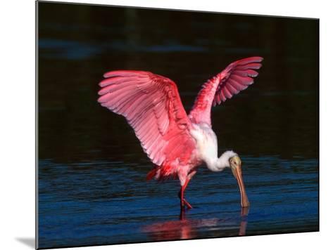 Roseate Spoonbill, Ding Darling National Wildlife Refuge, Sanibel Island, Florida, USA-Charles Sleicher-Mounted Photographic Print