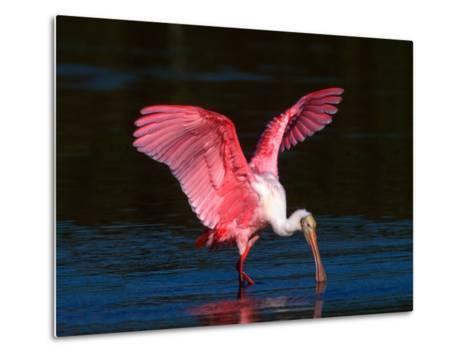 Roseate Spoonbill, Ding Darling National Wildlife Refuge, Sanibel Island, Florida, USA-Charles Sleicher-Metal Print