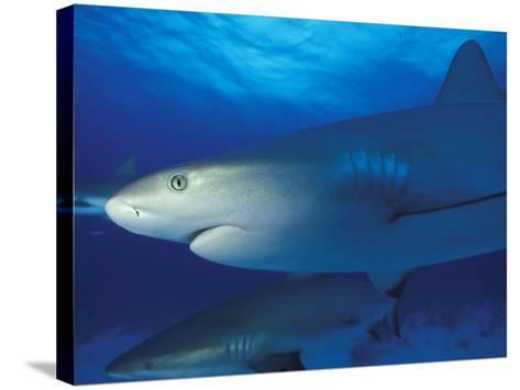 Caribbean Reef Shark, Bahamas-Michele Westmorland-Stretched Canvas Print