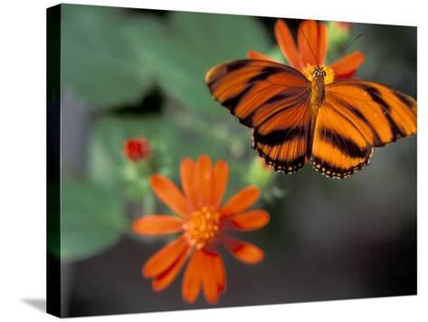 Acraea at Butterfly World, Florida, USA-Michele Westmorland-Stretched Canvas Print