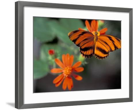 Acraea at Butterfly World, Florida, USA-Michele Westmorland-Framed Art Print