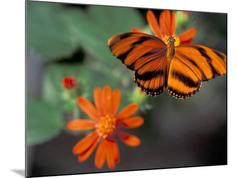 Acraea at Butterfly World, Florida, USA-Michele Westmorland-Mounted Photographic Print
