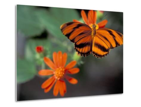 Acraea at Butterfly World, Florida, USA-Michele Westmorland-Metal Print