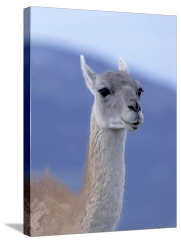 Guanaco in Torres del Paine National Park, Coquimbo, Chile-Andres Morya-Stretched Canvas Print