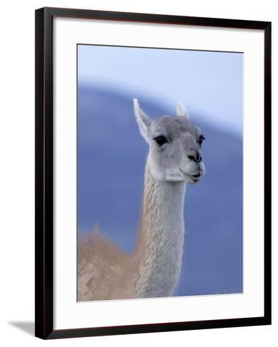 Guanaco in Torres del Paine National Park, Coquimbo, Chile-Andres Morya-Framed Art Print