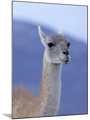Guanaco in Torres del Paine National Park, Coquimbo, Chile-Andres Morya-Mounted Photographic Print