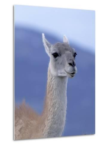 Guanaco in Torres del Paine National Park, Coquimbo, Chile-Andres Morya-Metal Print