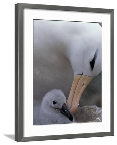 Black-Browed Albatross Preening Chick in Nest, Falkland Islands-Theo Allofs-Framed Art Print