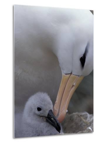 Black-Browed Albatross Preening Chick in Nest, Falkland Islands-Theo Allofs-Metal Print