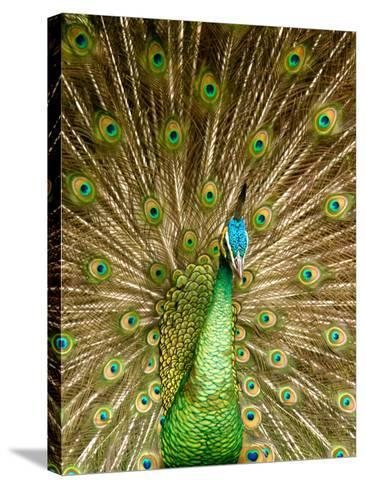 Peacock Displaying Feathers-Lisa S^ Engelbrecht-Stretched Canvas Print