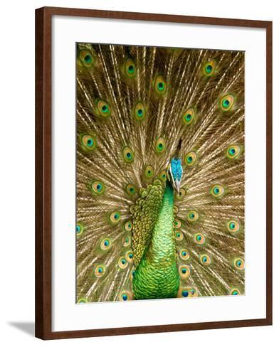 Peacock Displaying Feathers-Lisa S^ Engelbrecht-Framed Art Print