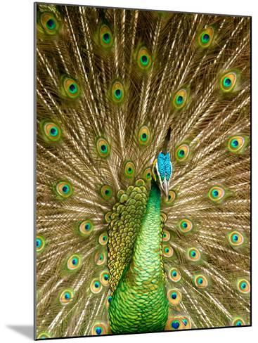 Peacock Displaying Feathers-Lisa S^ Engelbrecht-Mounted Photographic Print