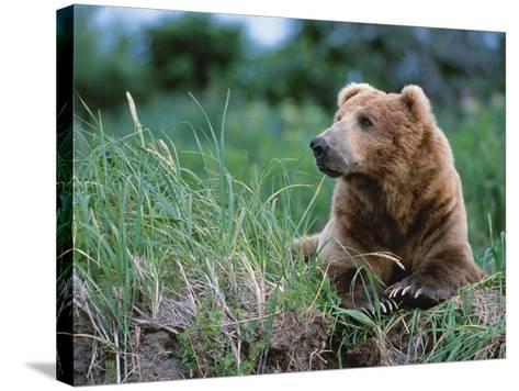 Male Brown Bear, Alaska Peninsula, Katmai National Park, Alaska, USA-Dee Ann Pederson-Stretched Canvas Print