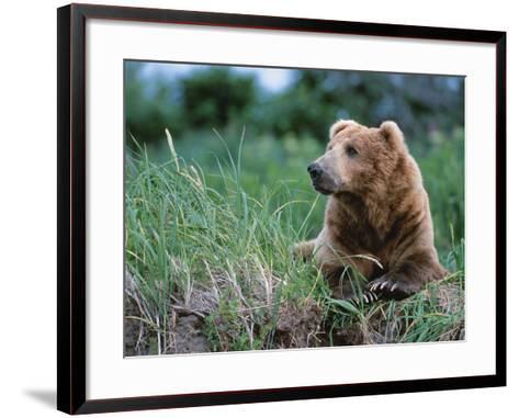 Male Brown Bear, Alaska Peninsula, Katmai National Park, Alaska, USA-Dee Ann Pederson-Framed Art Print