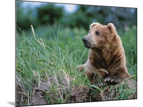 Male Brown Bear, Alaska Peninsula, Katmai National Park, Alaska, USA-Dee Ann Pederson-Mounted Photographic Print