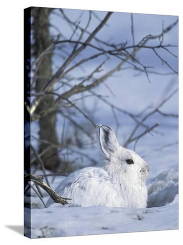 Snowshoe Hare, Arctic National Wildlife Refuge, Alaska, USA-Hugh Rose-Stretched Canvas Print