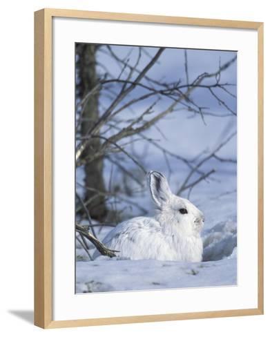 Snowshoe Hare, Arctic National Wildlife Refuge, Alaska, USA-Hugh Rose-Framed Art Print