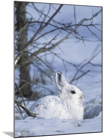Snowshoe Hare, Arctic National Wildlife Refuge, Alaska, USA-Hugh Rose-Mounted Photographic Print