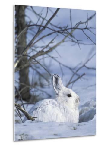 Snowshoe Hare, Arctic National Wildlife Refuge, Alaska, USA-Hugh Rose-Metal Print