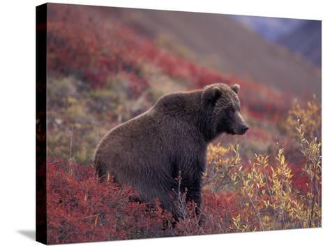 Female Grizzly Bear in Alpine Tundra, Denali National Park, Alaska, USA-Hugh Rose-Stretched Canvas Print