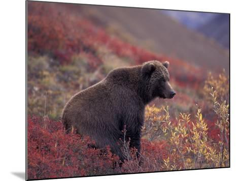 Female Grizzly Bear in Alpine Tundra, Denali National Park, Alaska, USA-Hugh Rose-Mounted Photographic Print